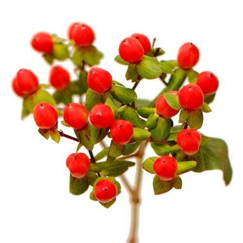 Гиперикум красный