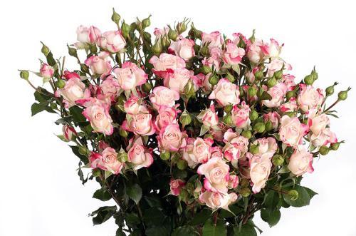 Кремово-розовая